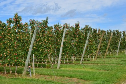 apples on the trees at T&K Ferri