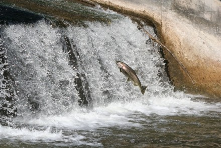 Jumping Salmon at Owen Sound mill dam