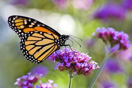 A frequent garden visitor, the Viceroy butterfly (a Monarch mimic), on verbena plant.