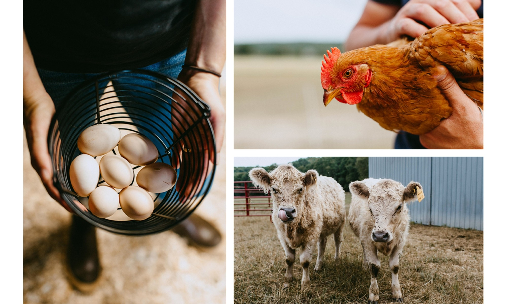 Farm Eggs, chicken and cow