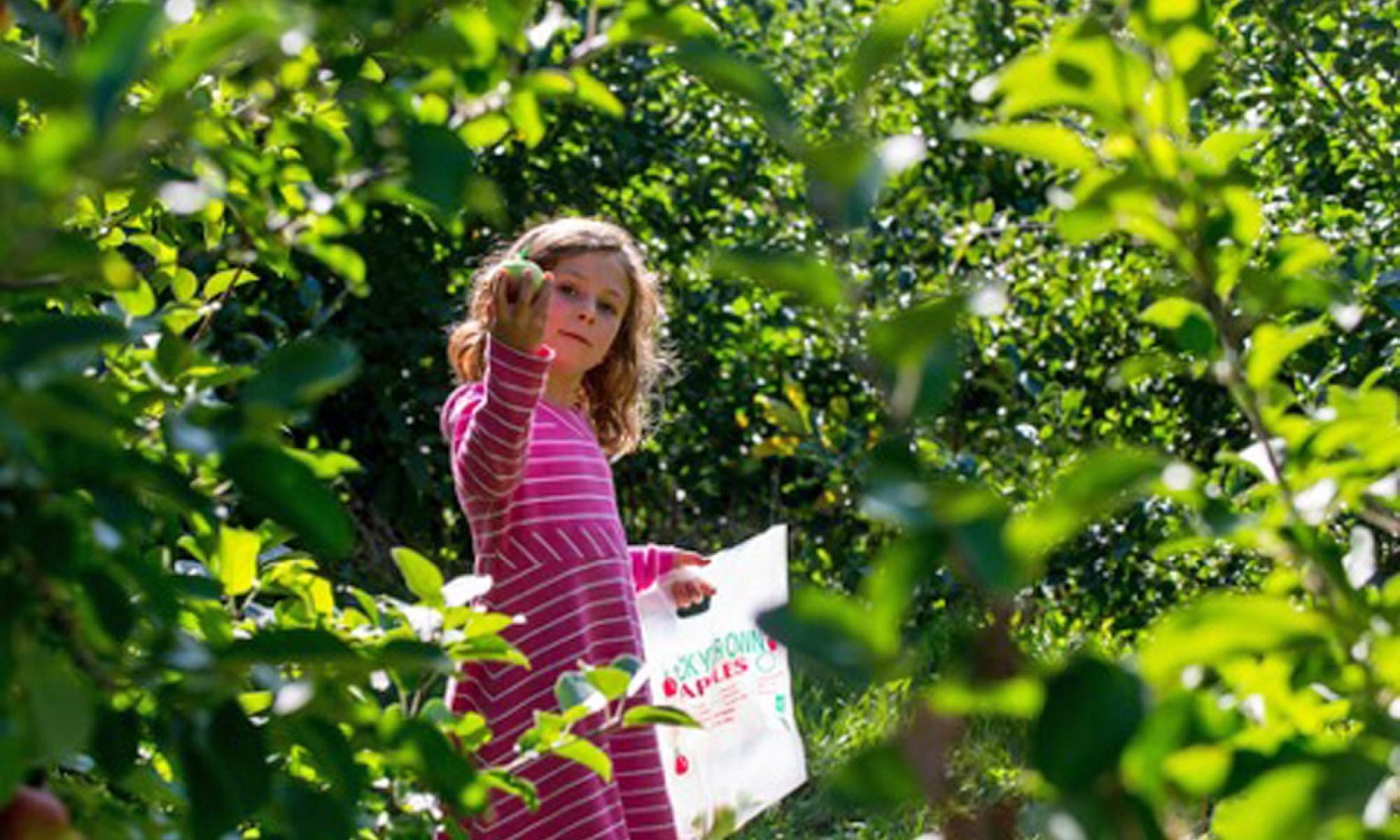 Apple picking at Farmer's Pantry