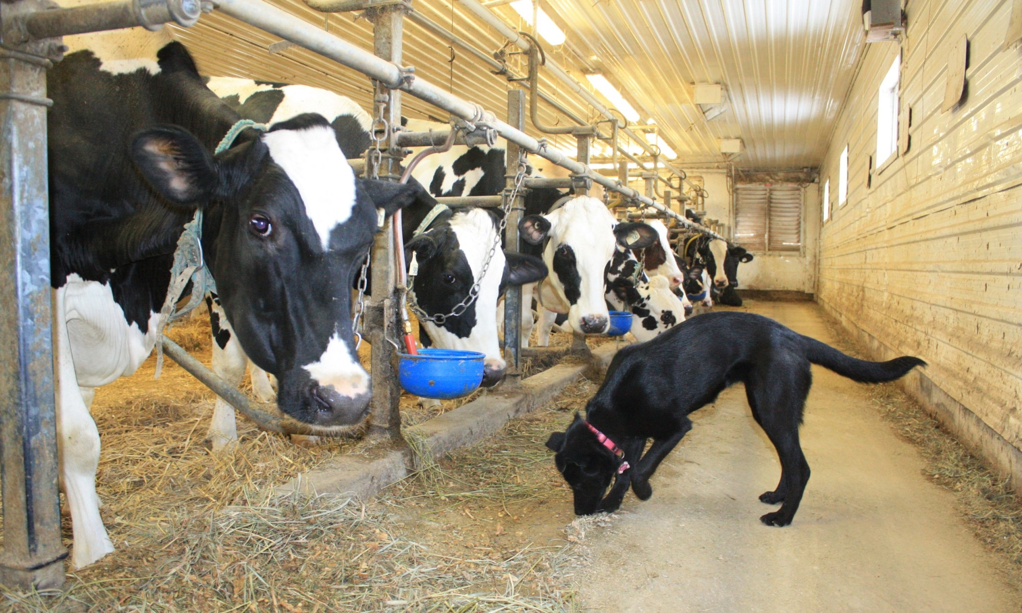 June, the farm dog supervising the cows